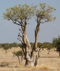 a moringa tree (280x328)