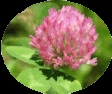 Clover flower heads can be brewed into a tea.