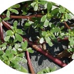 Purslane contains more omega-3 fatty acids than any other leafy vegetable plant.