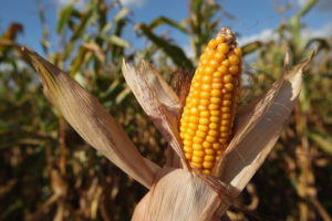 Corn+Harvest+Underway+Brandenburg+HqeJNsceRsAl