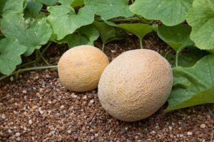 cantaloupes-in-garden-web